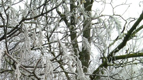 Trees covered in frozen fog.