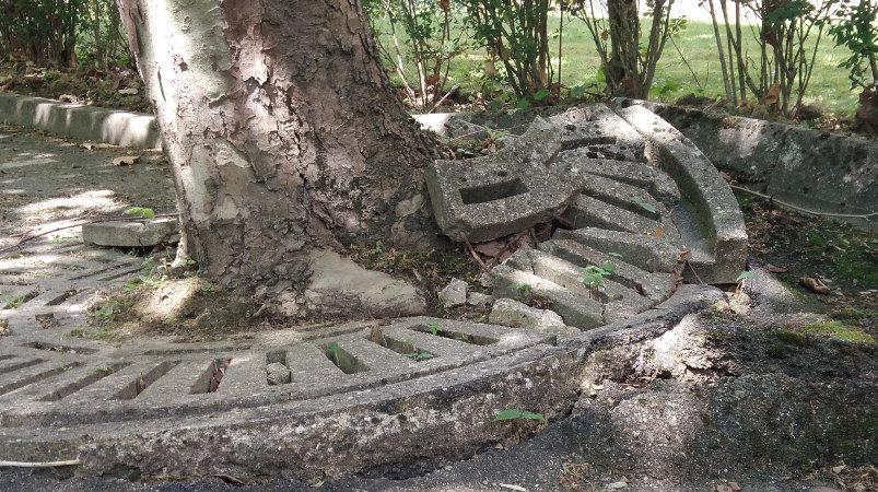 Roots deforming concrete